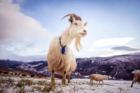 SOSIALREALISME: I fjellbygda Vågå er ikke historia om Bukkene Bruse et eventyr, det er hverdagen. Foto: Kristoffer Mæle Thuestad/Gjendesheim Turisthytte