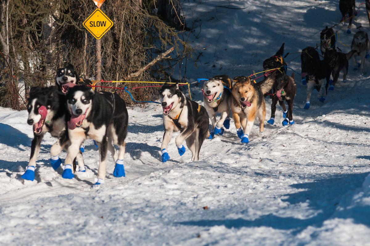LAGSPORT: En rekke nordmenn er på plass med topptrente hunder i årets Iditarod. Foto: Kristine Nyborg