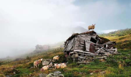 BÆRE BRA? Sauene klager ikke over forholdene til fjells. Men med så lite nedbør som i sommer, tenker jeg med bekymring på konsekvensene for bønder og dyr. Foto: Ingrid Grøvdal Røskar