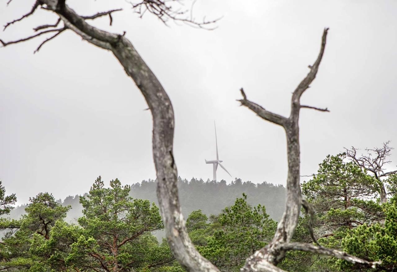 HITRA-NATUREN: Vindturbinene strekker seg høyt over furuskogen på Hitra. Foto: Unni Skoglund