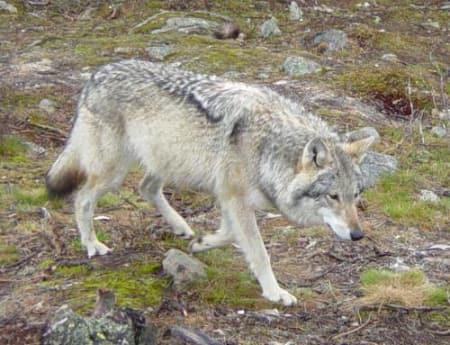 Foto: Foreningen våre rovdyr
