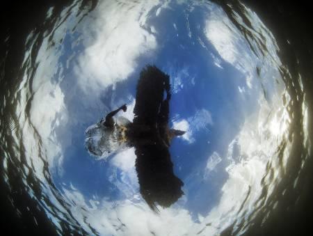 DØDEN FRA OVEN: Ørn som tar fisk sett fra fiskeperspektiv. Bildet er tatt ved hjelp av et fjernstyrt undervannskamera. Det ble kåret årets nordiske fuglebilde og det beste bildet totalt i konkurransen. Dermed fikk Audun Rikardsen tittelen årets Nordiske naturfotograf 2014. Han fikk samme tittel i 2012 og ble norsk mester i naturfoto i 2013.