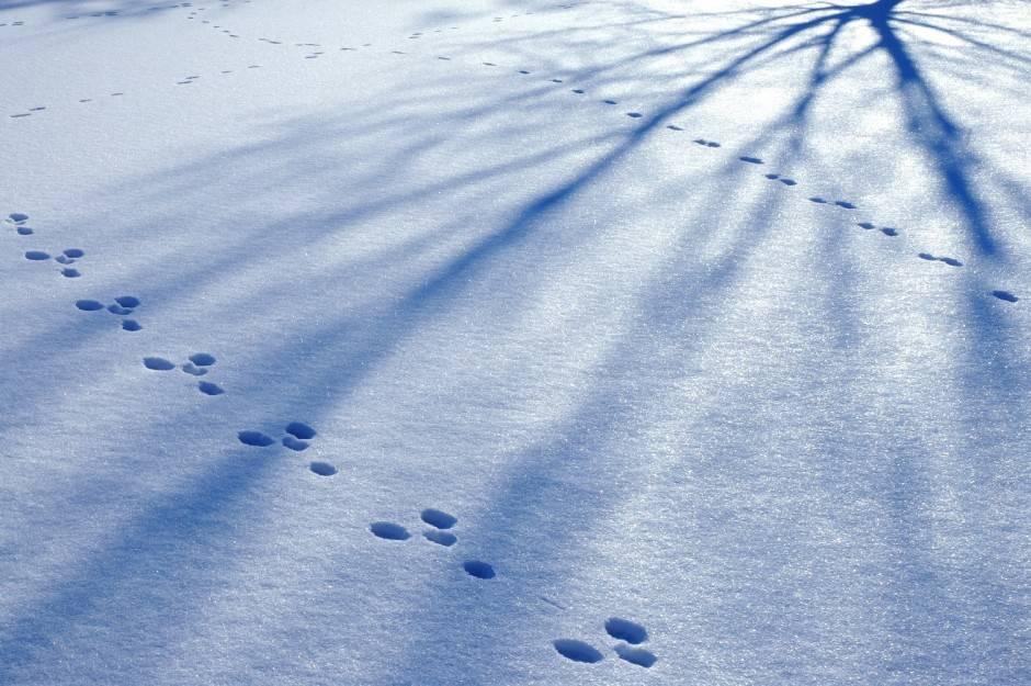 Hare harepus i vinterdrakt