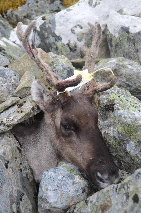 DAGENS RUDOLF: Simla som Robert skøyt, steinet han ned slik at den kunne ligge i fred til jakta var slutt for dagen.