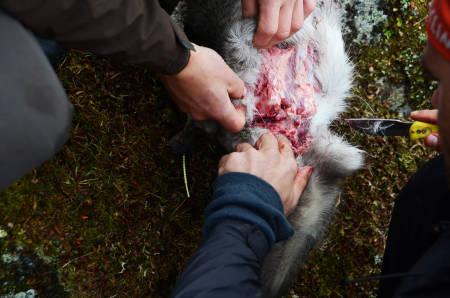 PRØVER: Årets jakt er vemodig for mange. Alle bidrar til å sjekke omfanget av CWD slik at man får tatt prøver av lymfekjertler og hjernevev.
