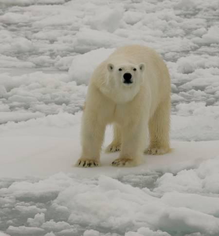 SJEFEN: Isbjørnen er den alle må være på vakt for. Om bord i MS Origo er det trygg avstand.