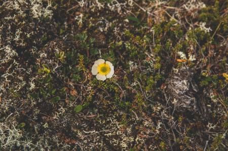 EINSAM: Ein liten blomst kan by på stor glede høgt til fjells. Foto: Line Hårklau