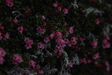 Om sommeren danner det seg tepper av små blomster i lyngen på Lofotodden. Foto: Andreas Skagøy