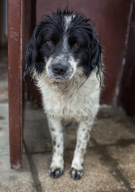 PELSDYR: Regnvåt Hund ved et vertshus i Kazbegi. Foto: Hans Aage