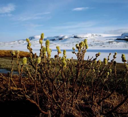 KONTRASTER: Våren har kommet til Finse. På Hardangerjøkulen (i bakgrunnen) er det fremdeles vinter. Foto: Matti Bernitz