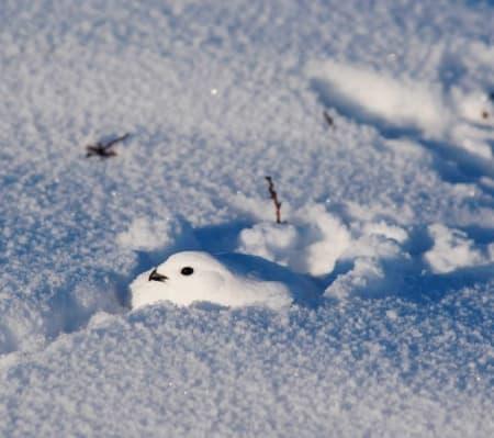 FJELLRYPE: Rypa finner også ly i snøen. Om kvelden graver den seg ned i dokk. Foto: Lars Krempig