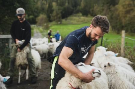 SORTERING: Det brekast i kor når alle sauene til slutt er samla. Nokre skal vidare til Jølster, resten skal vere igjen på Haukedalen. Arne Åsmund Gjerland sørger for at riktig sau hamnar på riktig stad.