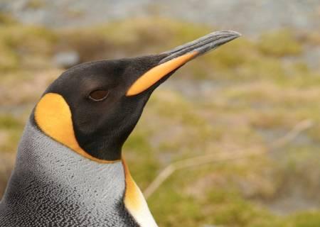En flott eksemplar av nærmere en halv million kongepingviner i St. Andrews Bay. Foto: Bjørn Riis-Johannessen