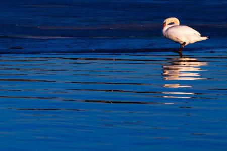 HA SOLEN I RYGGEN: Lav kveldssol gir varme fine farger. Men pass på at skyggen din ikke kommer med på bildet. Denne svanen satt på iskanten i Bjørvika. Lukkertid: 1/320s. Blenderåpning: f/11. Lysfølsomhet: ISO 200. Brennvidde: 320mm.  Foto: Snorre Veggan