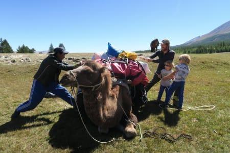 Forberedelser av kamelen i Mongolia.
