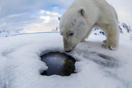 ISBJØRN-PEK: Etter at den gigantiske isbjørnen hadde tatt et utall «selfier» av seg selv foran kameraet mitt, kvitterte den med å putte hele greia ned i hullet hvor det sank til 140 meters dyp, tilsynelatende tapt for alltid. Hva gjør man da? Foto: Audun Rikardsen