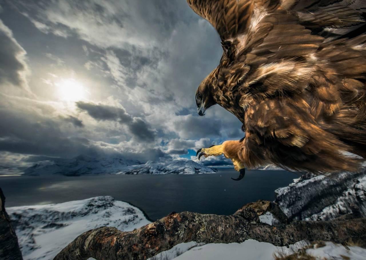 KONGEØRN: Inn for landing. Det tok tre år for naturfotografen å fange dette bildet. Foto: Audun Rikardsen