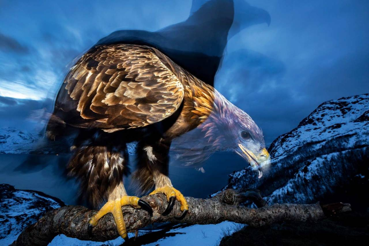 KONGEØRNA: Audun Rikardsen har fått et spesielt forhold til denne fuglen. Foto: Audun Rikardsen