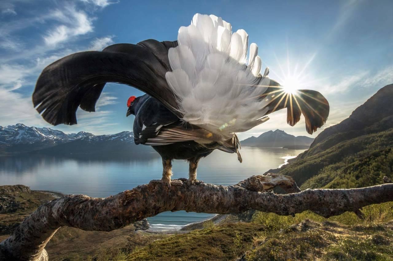 ORRFUGL: Her på kysten i Nord-Norge spiller orrfuglene mer for seg selv, på sine egne territorier, og gjerne også på kvelden og natta i midnattssola. Foto: Audun Rikardsen