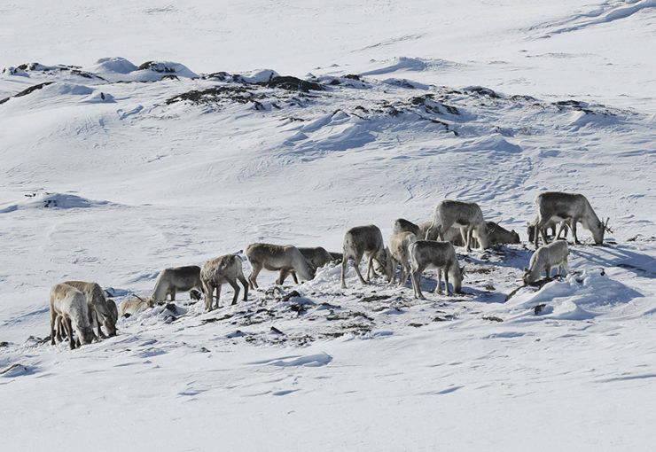 BER FRILUFTSLIVET TA HENSYN: Det blir færre kvistete løyper på Hardangervidda i vinter, med mål om å redusere skrantesjuke. Foto: Olav Strand/Nina