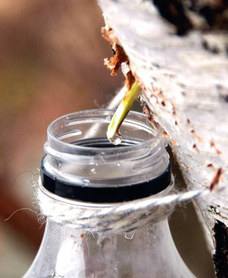 SAFT: Bjørkesafta kan du drikka som han er, i bakverk eller koka inn til sirup. Sirupen er nydeleg på is, på ost, i teen eller på pannekakene. Foto: Sigrid Henjum